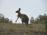 First kangaroo sighting!