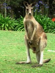 Just another day on the golf course for Mr. Kangaroo